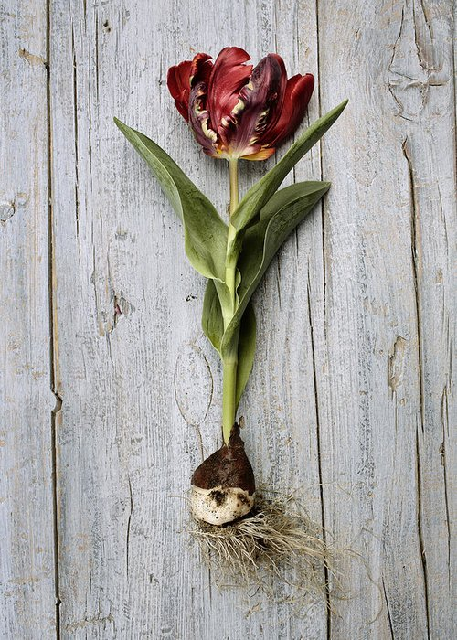 Tulip Greeting Card featuring the photograph Tulip by Nailia Schwarz