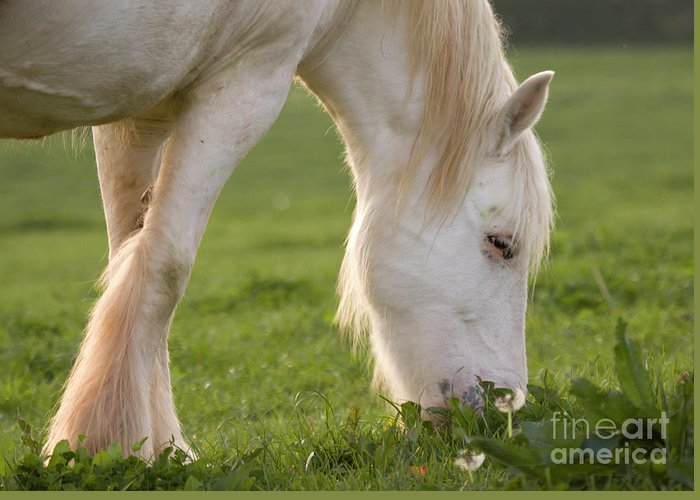 Horse Greeting Card featuring the photograph White Horse by Angel Ciesniarska