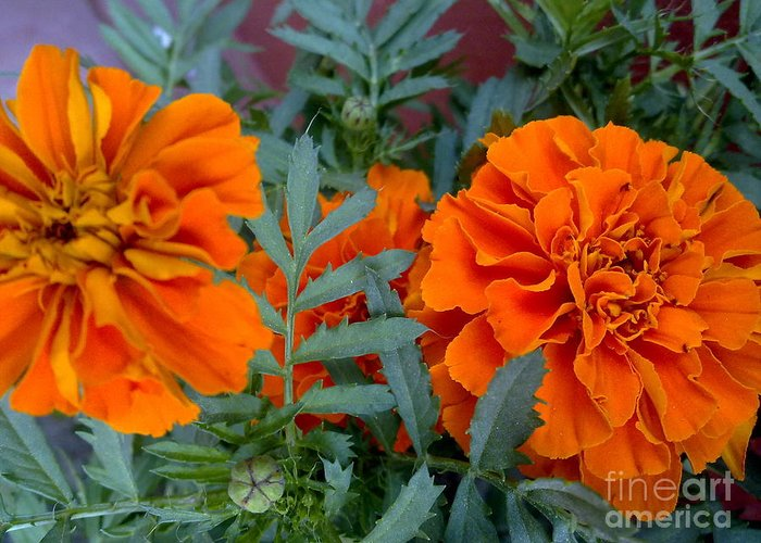 Orange Flowers Greeting Card featuring the photograph Divine Flowers by Baljit Chadha