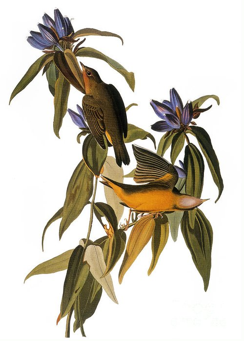 1827 Greeting Card featuring the photograph Audubon: Warbler, (1827-38) by Granger