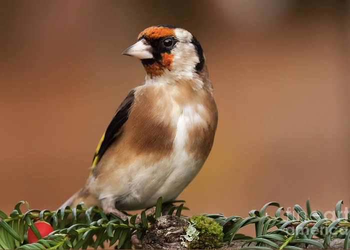 Goldfinch Greeting Card featuring the photograph European Goldfinch Bird Close Up  by Simon Bratt Photography LRPS