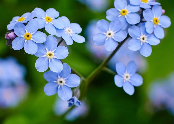 Finland Greeting Card featuring the photograph Forget Me Not by Jouko Lehto