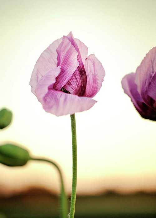 Palatinate Greeting Card featuring the photograph Lilac Poppy Flowers by Nailia Schwarz