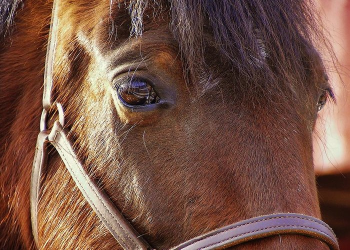 Horse Greeting Card featuring the photograph Morgan Horse by JAMART Photography