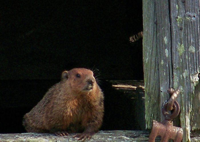 Groundhog Greeting Card featuring the photograph 5003-groundhog by Martha Abell