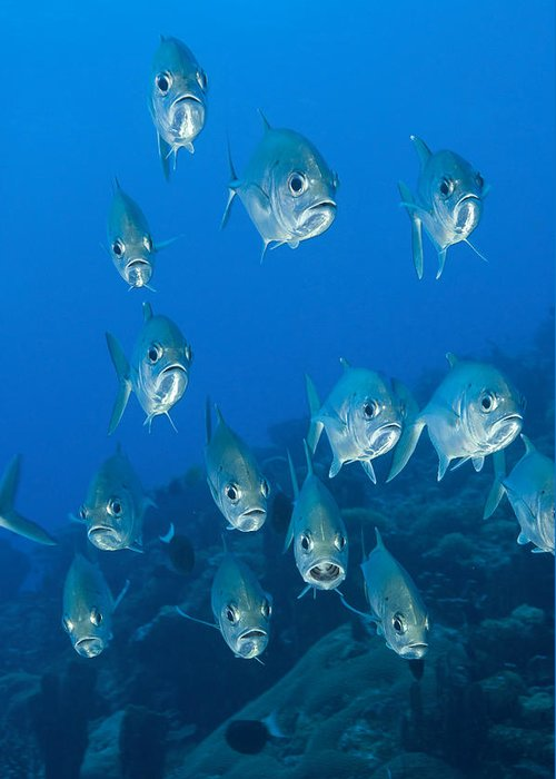 Carangidae Greeting Card featuring the photograph A School Of Bigeye Trevally, Papua New by Steve Jones