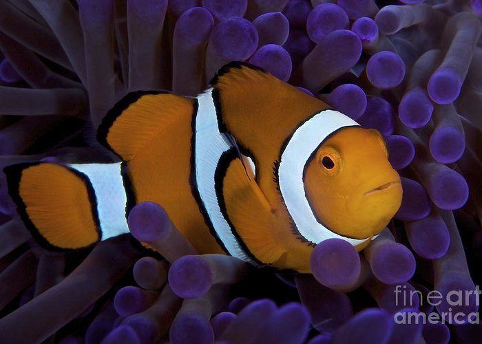 Swimming Greeting Card featuring the photograph False Ocellaris Clownfish In Its Host by Terry Moore