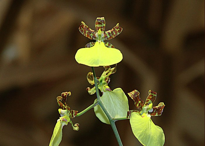 Greeting Card featuring the photograph Orchid by Laurie Prentice