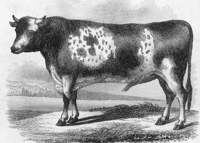 19th Century Greeting Card featuring the photograph Cattle, 19th Century by Granger