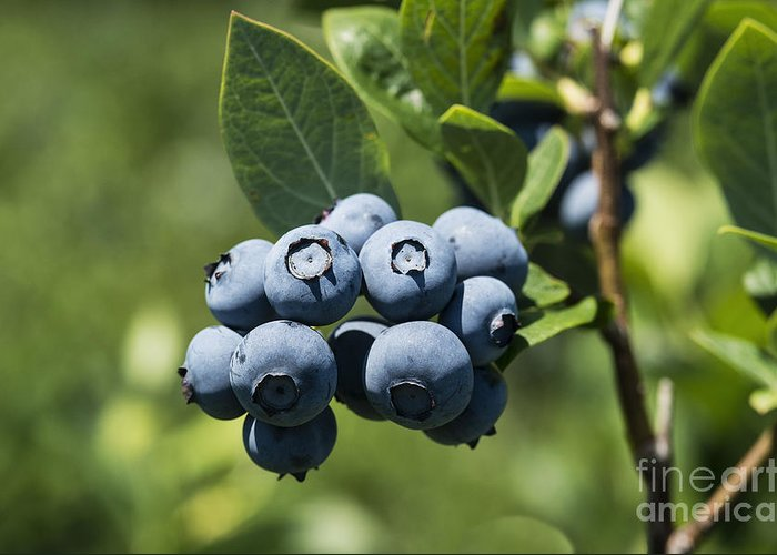 Cyanococcus Greeting Card featuring the photograph Blueberry Bush by John Greim