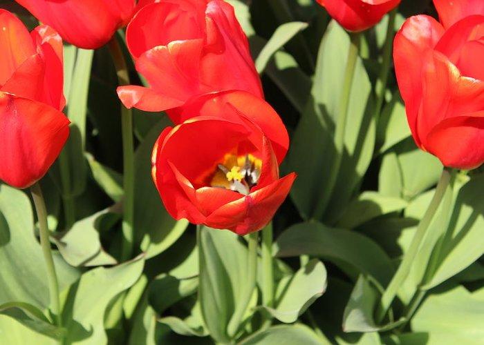 Tulip Greeting Card featuring the photograph Tulip by Sherri Keene