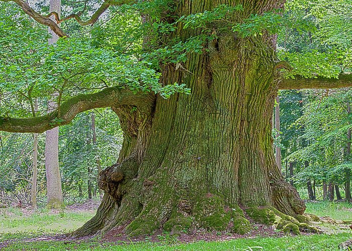 Oak Greeting Card featuring the photograph 800 Years Old Oak Tree by Heiko Koehrer-Wagner