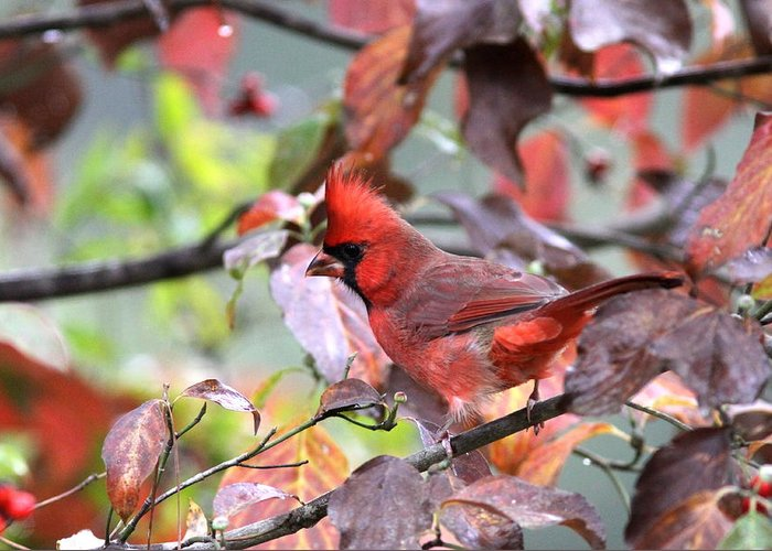 Northern Cardinal Greeting Card featuring the photograph 8627-001 - Northern Cardinal by Travis Truelove