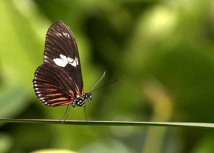 Butterfly Greeting Card featuring the photograph Butterfly by Theo Tan