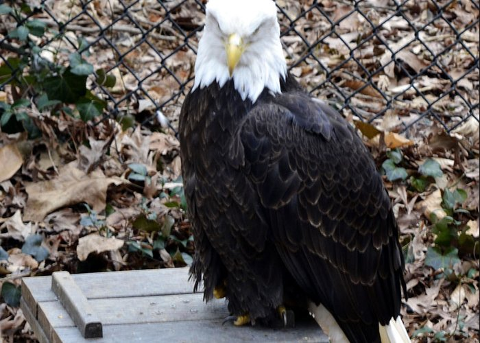 Animal Greeting Card featuring the photograph A Bald Eagle by Eva Thomas