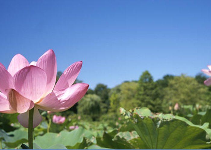North America Greeting Card featuring the photograph A Beautiful Emperor Lotus Blooms by Richard Nowitz