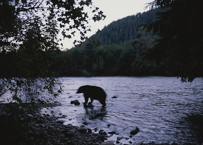 North America Greeting Card featuring the photograph A Black Bear Searches For Sockeye by Joel Sartore