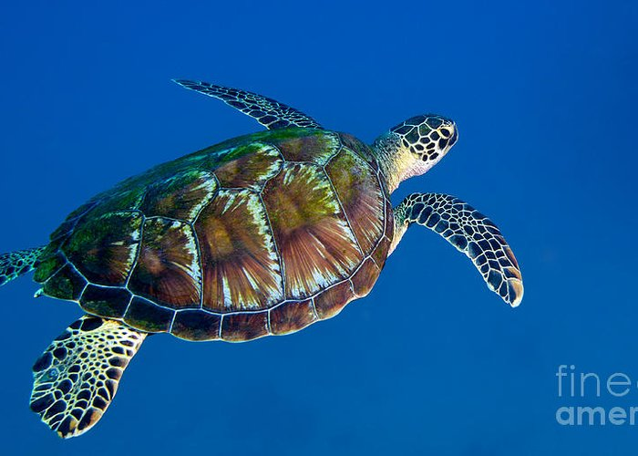 Sea Life Greeting Card featuring the photograph A Black Sea Turtle Off The Coast by Michael Wood