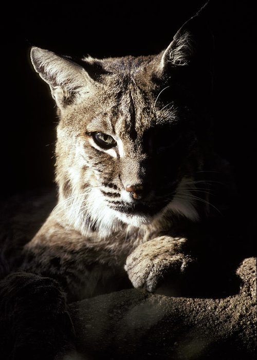 Bobcat Greeting Card featuring the photograph A Bobcat Sitting In A Ray Of Sun by Jason Edwards