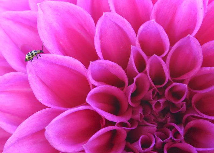 Flower Greeting Card featuring the photograph A Bug by Danielle Miller