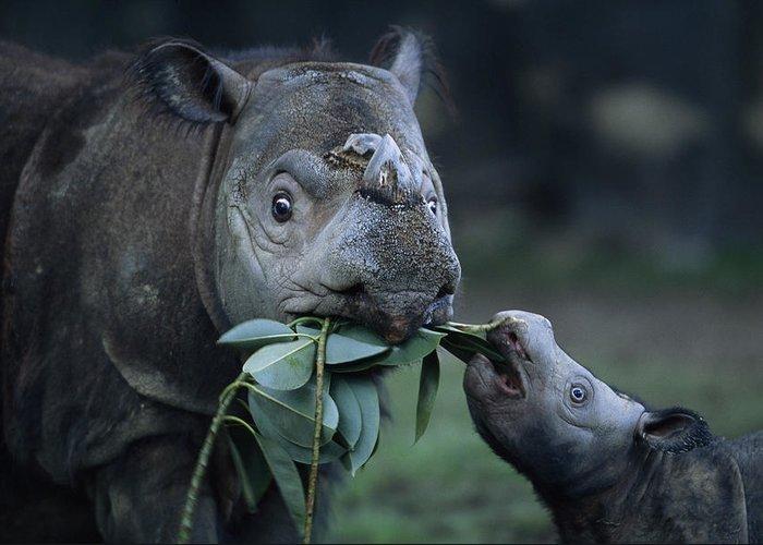 Outdoors Greeting Card featuring the photograph A Captive Sumatran Rhinoceros by Joel Sartore
