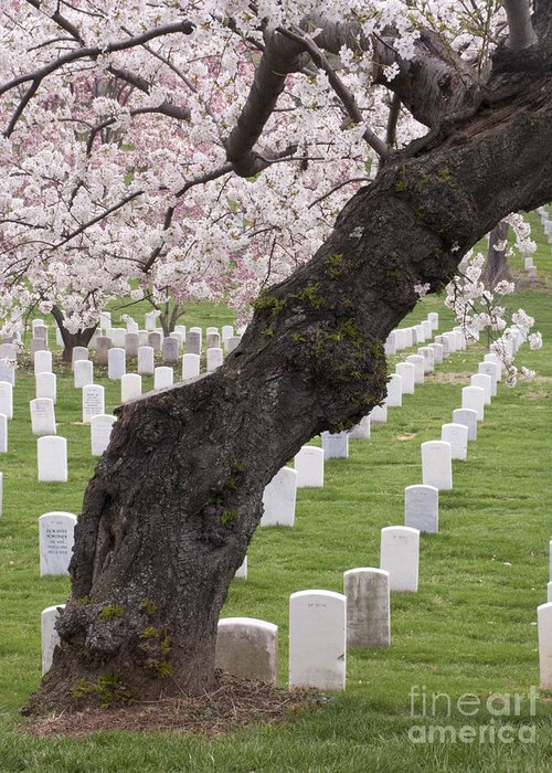 Cherry Tree Greeting Card featuring the photograph A Cherry Tree In Arlington National Cemetery by Tim Grams