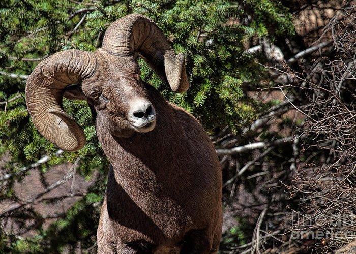 Bighorn Sheep Greeting Card featuring the photograph Cockeyed Ram by Jim Garrison