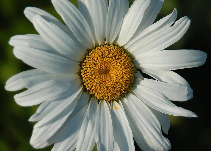 Daisy Greeting Card featuring the photograph A Daisy A Day by Suzanne Gaff