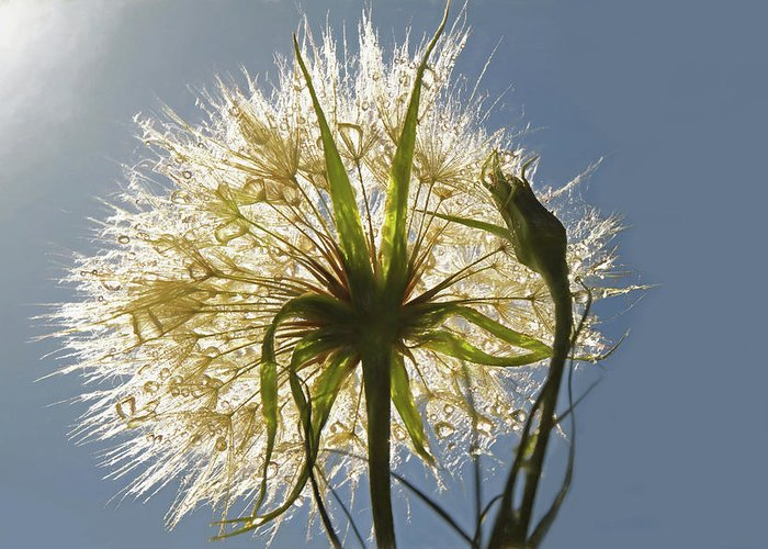 Salsify Greeting Cards