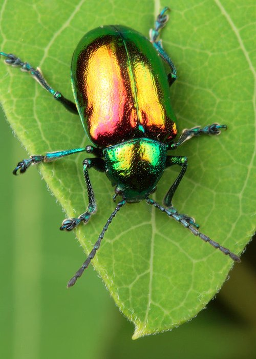 Animals Greeting Card featuring the photograph A Dogbane Leaf Beetle, by George Grall