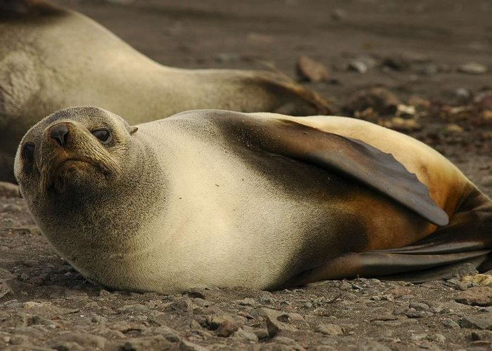 Ice Greeting Card featuring the painting A Female Antarctic Fur Seal Sunning., By Noaa by Noaa