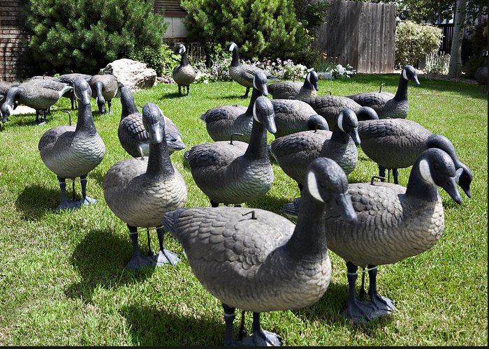 Wildlife Greeting Card featuring the photograph A Flock Of Decoys by Marilyn Hunt