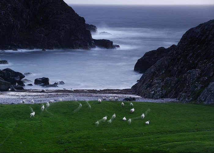 Outdoors Greeting Card featuring the photograph A Flock Of Sheep Graze On Seaweed by Jim Richardson