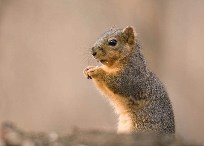 Nobody Greeting Card featuring the photograph A Fox Squirrel Sciurus Niger Finds by Joel Sartore