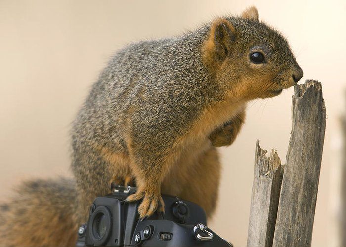 Photography Greeting Card featuring the photograph A Fox Squirrel Sciurus Niger Sits by Joel Sartore