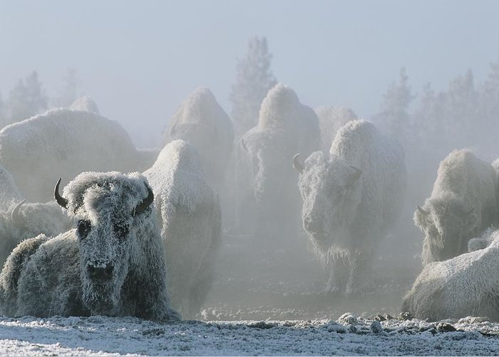 North America Greeting Card featuring the photograph A Frost-covered Herd Of American Bison by Tom Murphy