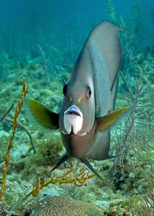 Fish Greeting Card featuring the photograph A Gray Angelfish In The Shallow Waters by Michael Wood