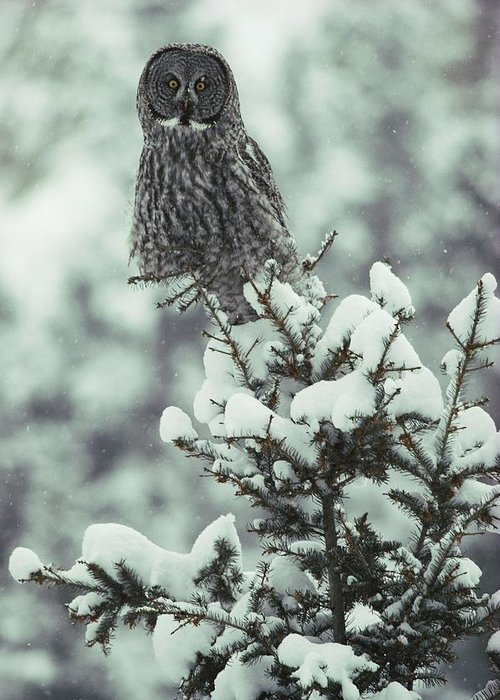 great Gray Owls Greeting Card featuring the photograph A Great Gray Owl Strix Nebulosa Perches by Tom Murphy