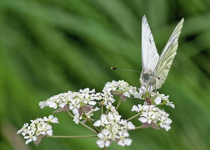 Insectsofinstagram Greeting Card featuring the photograph A Green-veined White (pieris Napi) by John Edwards