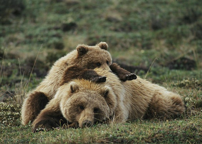 North America Greeting Card featuring the photograph A Grizzly Bear Cub Stretches by Michael S. Quinton