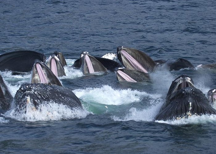 Pacific Ocean Greeting Card featuring the photograph A Group Of Humpback Whales Bubble Net by Ralph Lee Hopkins