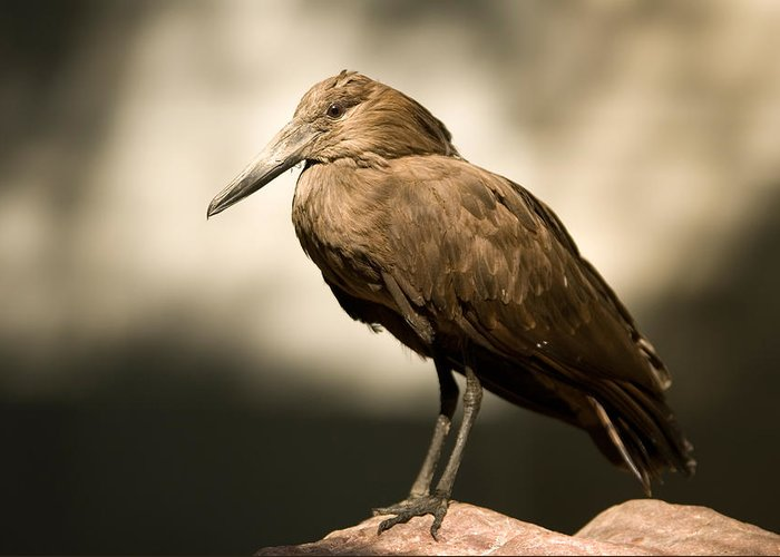 Hammerkop Greeting Card featuring the photograph A Hammerkop At The Lincoln Childrens by Joel Sartore