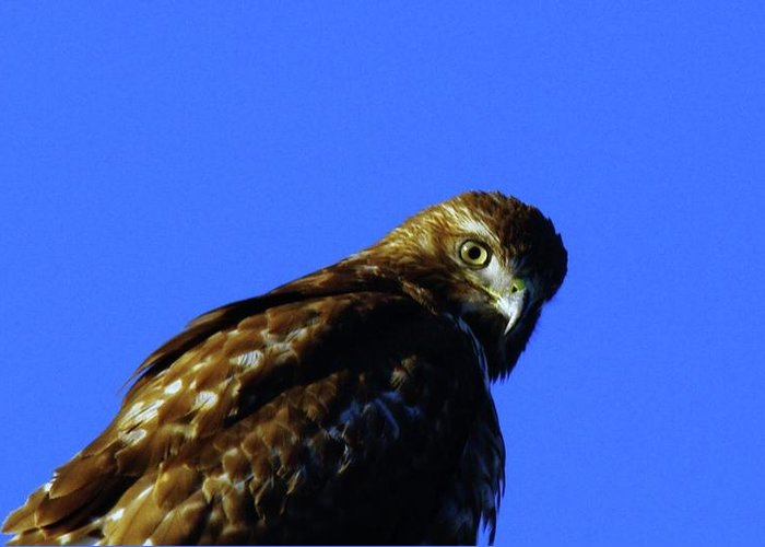 Hawks Greeting Card featuring the photograph A Hawk Looking Back by Jeff Swan