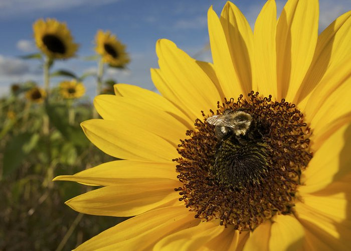 Concord Greeting Card featuring the photograph A Honey Bee Visiting A Sunflower by Tim Laman