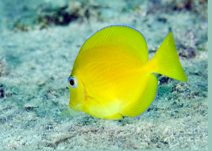 Sea Life Greeting Card featuring the photograph A Juvenile Blue Tang Searching by Terry Moore