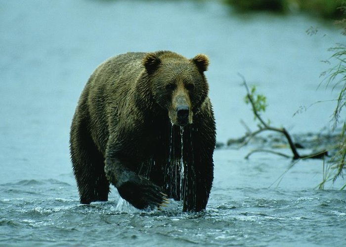 Wild Animals Greeting Card featuring the photograph A Kodiak Brown Bear Ursus Middendorfii by George F. Mobley