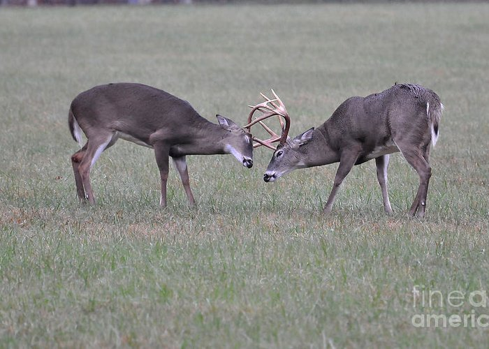 Bucks Greeting Card featuring the photograph A Little Dispute by Todd Hostetter