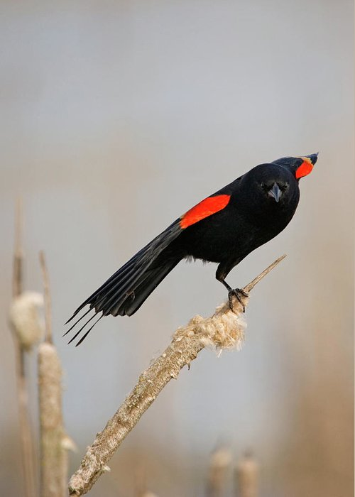 Red-winged Blackbird Greeting Card featuring the photograph A Little Stretch by Randall Ingalls