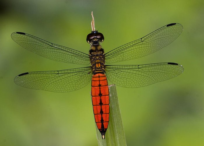 Close Up Greeting Card featuring the photograph A Male Forest Chaser Dragonfly Rests by Joe Petersburger