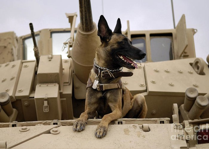 Color Image Greeting Card featuring the photograph A Military Working Dog Sits On A U.s by Stocktrek Images